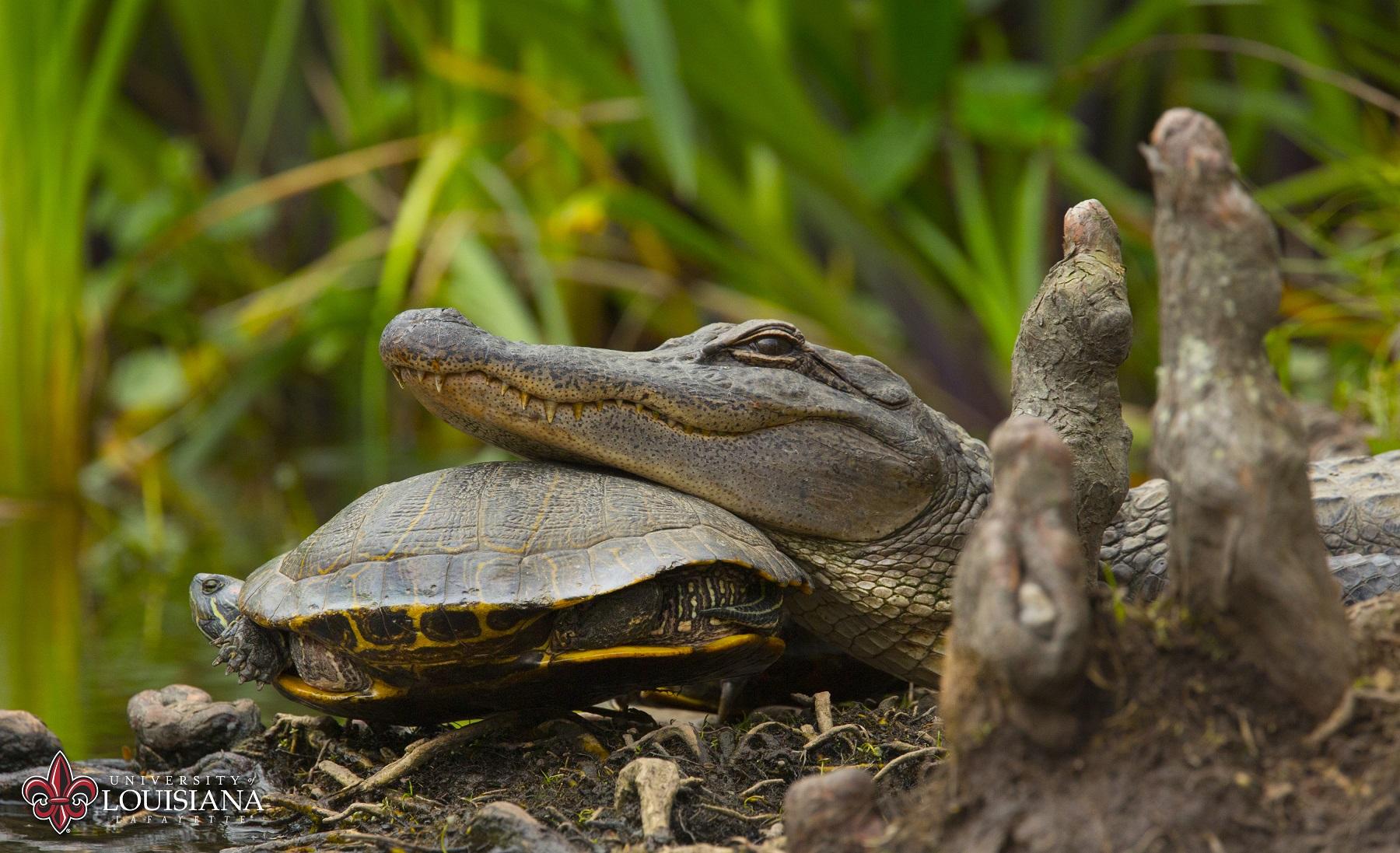 alligator and turtle on UL Lafayette campus