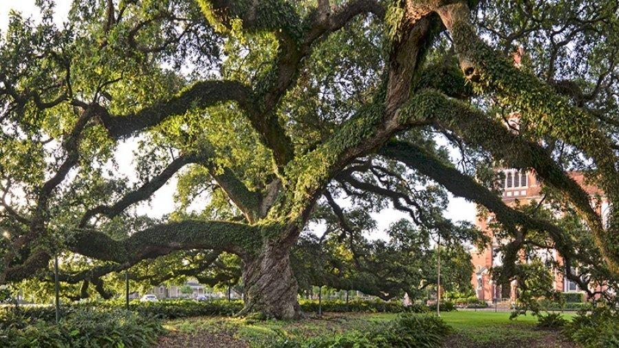 Century Oak tree on the UL Lafayette campus